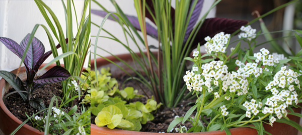 Porch Planters: Persian Shield, Creeping Jenny, and Silver Stream Alyssum.